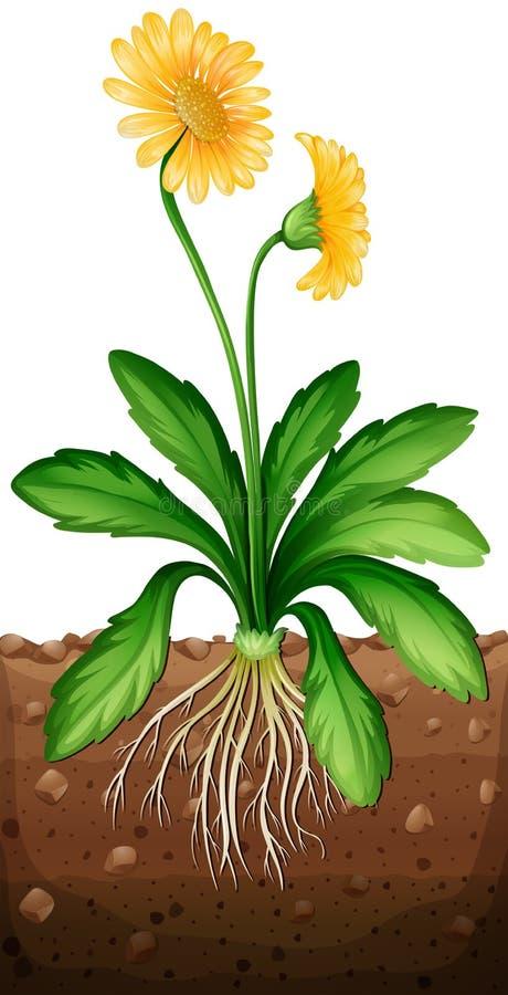 Yellow daisy plant in the ground. Illustration stock illustration