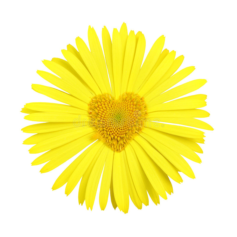 Free Yellow Daisy With Heart In Center Stock Photo - 5372940