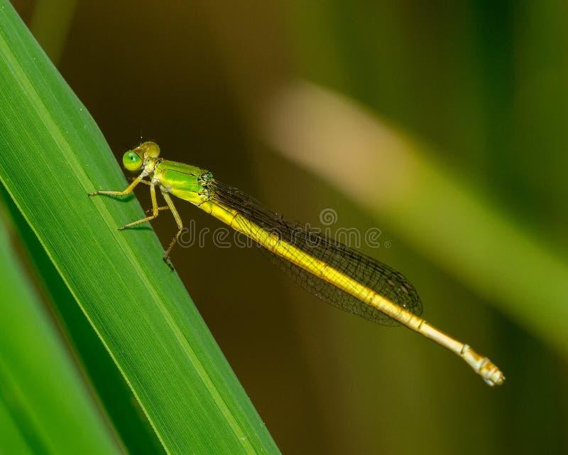 Download Yellow damselfly stock photo. Image of hunter, beauty - 32504754