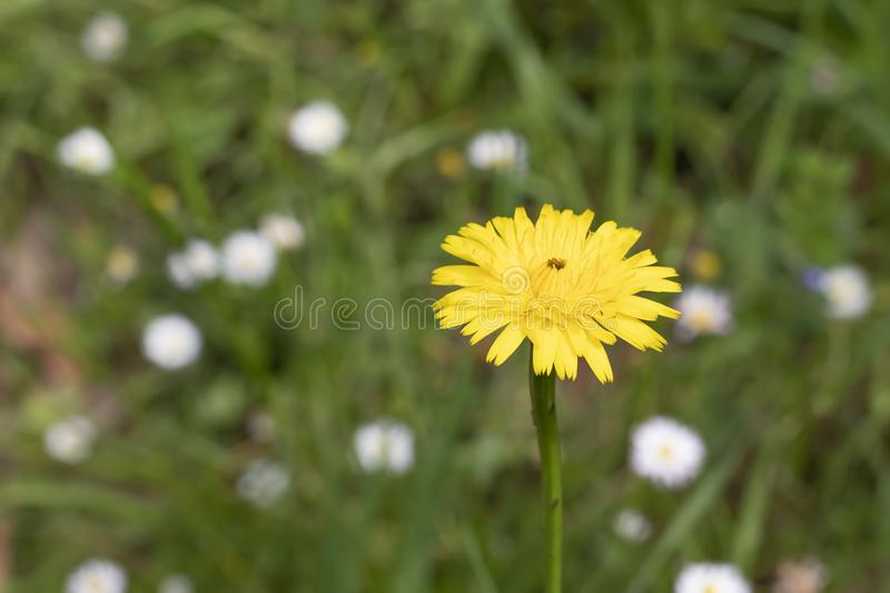Yellow dandelion on a background of green grass and white flowers royalty free stock images