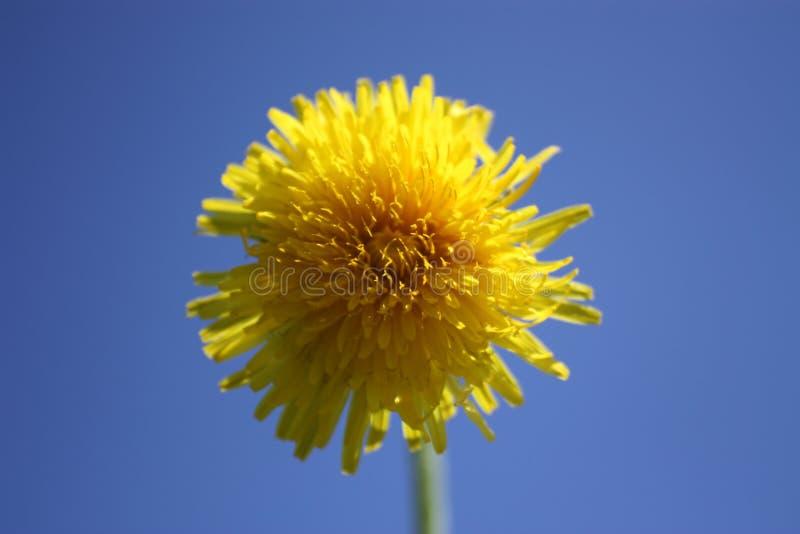 Dandelion on the blue sky stock image