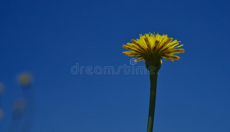 Yellow Dandelion with blue sky background. Semi bottom view of yellow Dandelion flower with blue sky background stock image