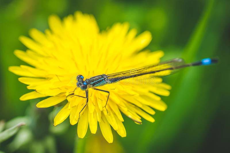 Yellow dandelion and dragonfly. Spring is here. Bee love this flower. Macro photography. Yellow and white dandelions. Garden and outdoor flowers. They are sign stock photography