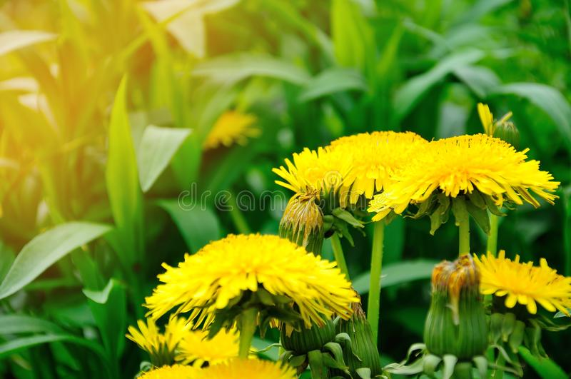 Yellow dandelion in the early morning sun royalty free stock photo