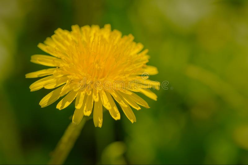 Yellow dandelion flower against a green lawn. Background stock photography