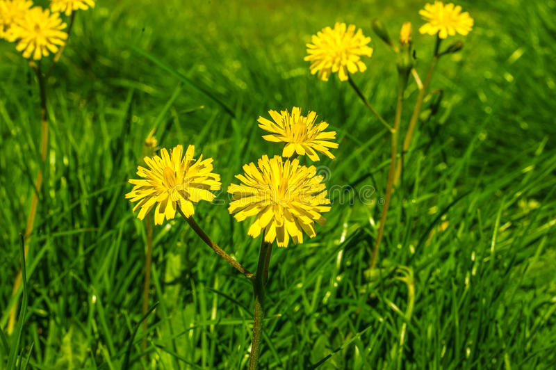 Yellow dandelion flower close up. royalty free stock image