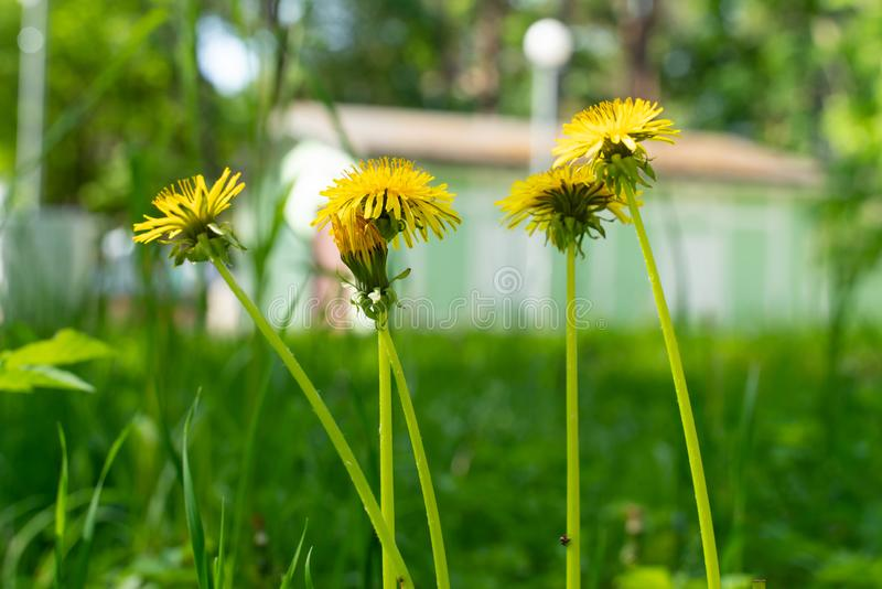 Yellow dandelion flower close up with beautiful green blurred background. Beautiful yellow dandelion on a green meadow, nature, background, spring, season stock images
