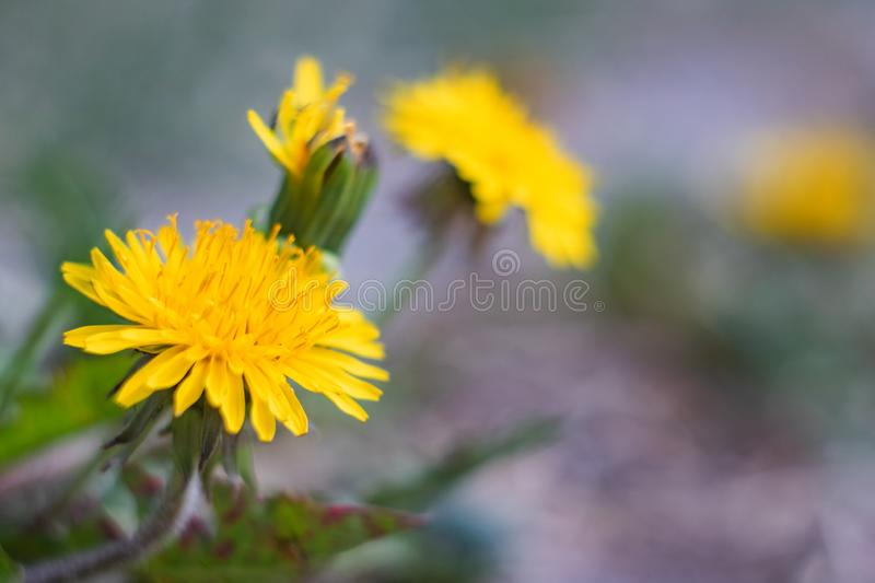 Yellow Dandelion Flower Close Up, copy space. Yellow dandelion flower close up with copy space, macro photo royalty free stock photos
