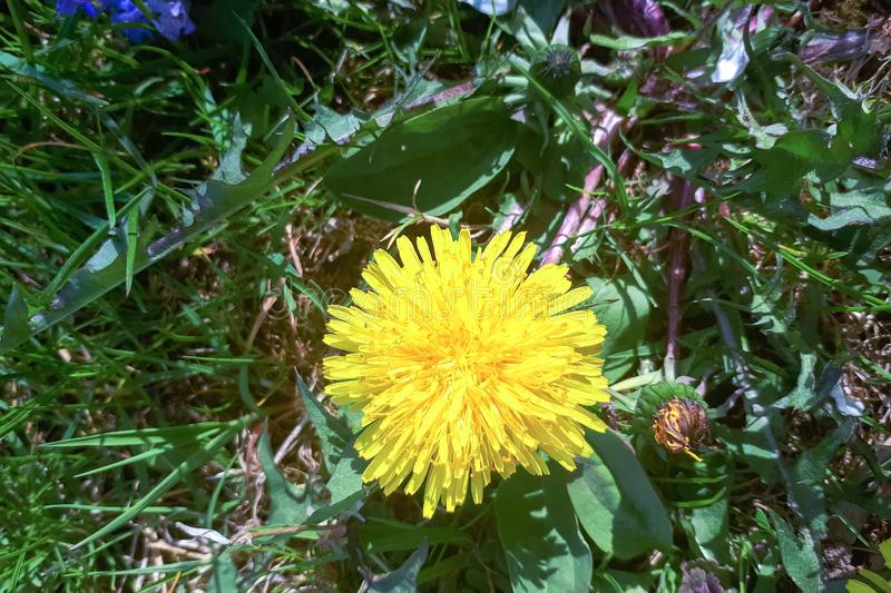 Yellow dandelion flower close up, macro,. Spring background stock photo