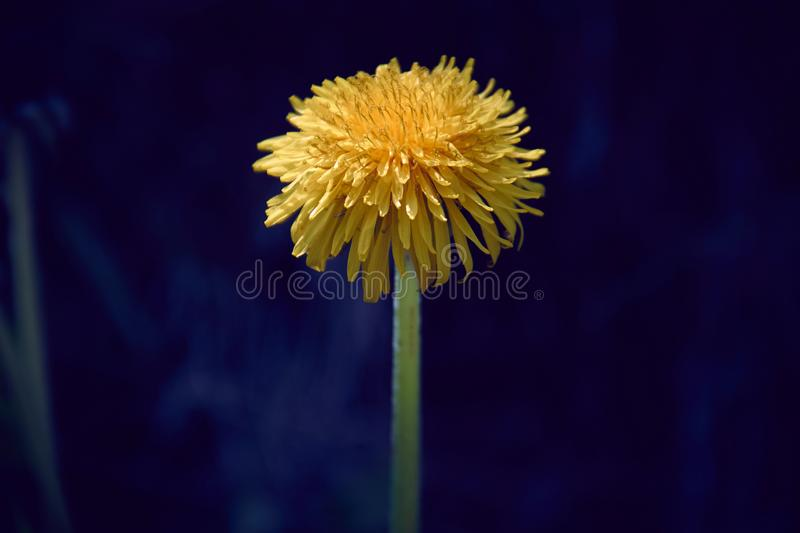 Yellow dandelion flower with diffused green grass background. Plant bloom blossom taraxacum spring herb closeup petal fresh herbal leaf flora nature vibrant royalty free stock photo