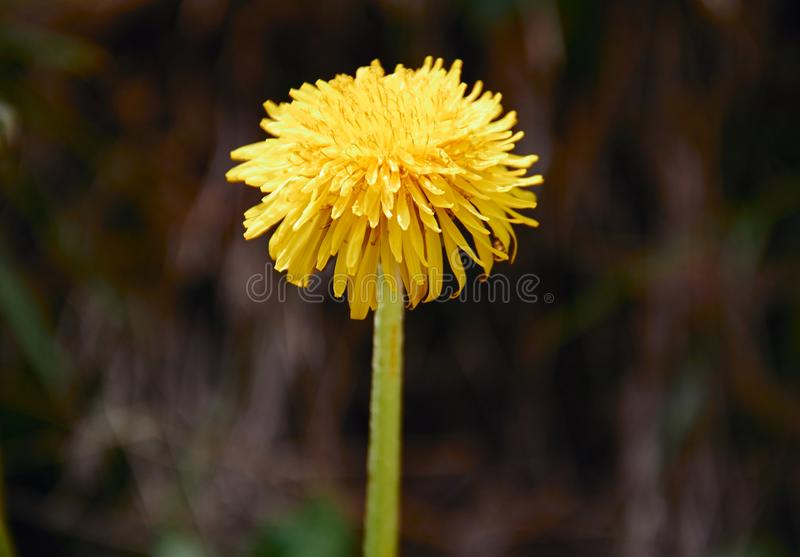 Yellow dandelion flower with diffused green grass background. Plant bloom blossom taraxacum spring herb closeup petal fresh herbal leaf flora nature vibrant royalty free stock images