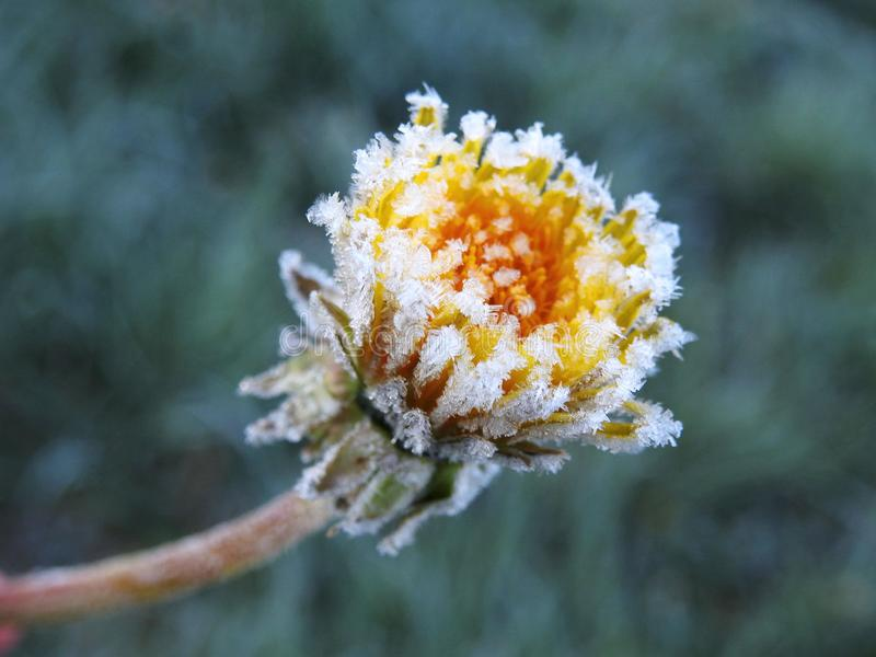 Yellow dandelion flower in frost, Lithuania stock photos