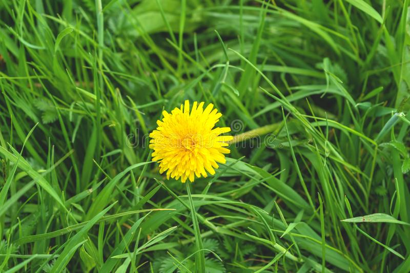 Yellow dandelion flower in green grass in spring day close up stock photo