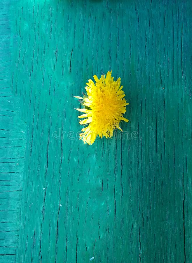 Yellow dandelion flower lies on the green textured board stock photo