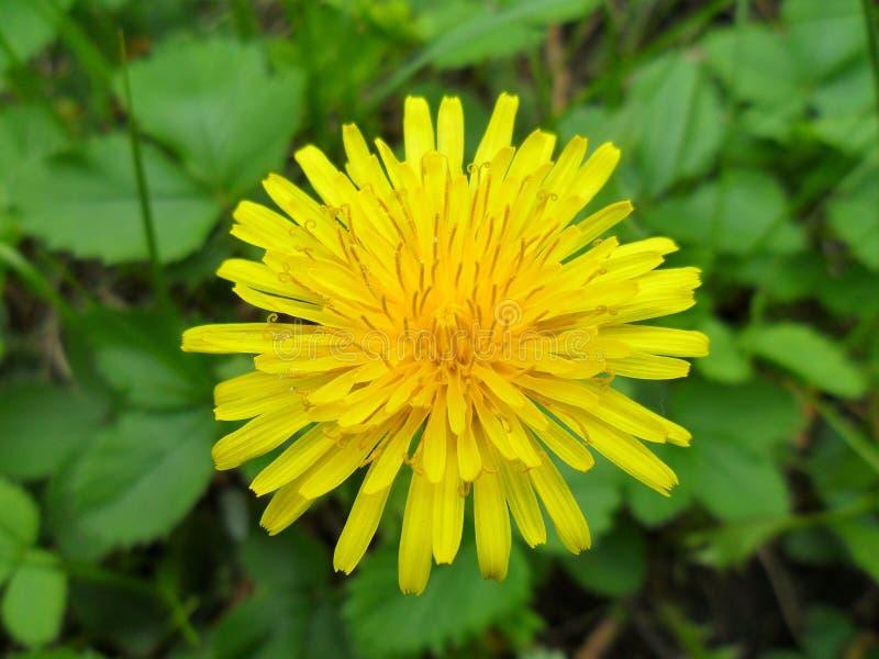 Yellow dandelion flower stock photography