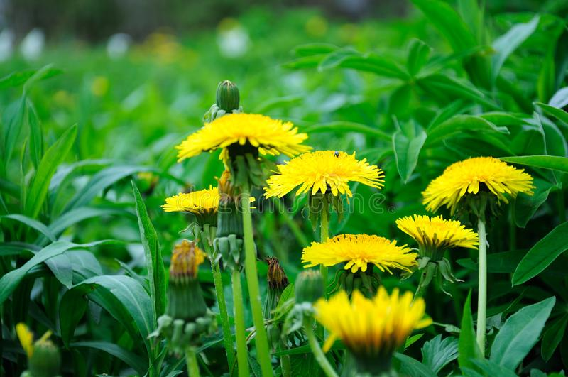 Yellow dandelion flowers royalty free stock images