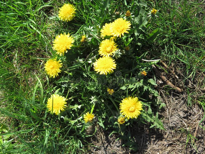Yellow dandelion flowers. Closeup of Yellow dandelion flowers in green grass verge royalty free stock photography