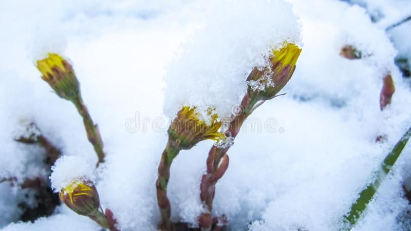 Dandelions under the snow. Yellow dandelion flowers dodging snow in early spring in northern Russia royalty free stock images