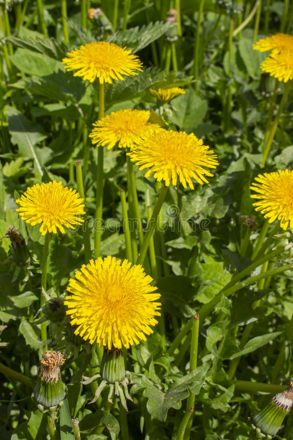 Yellow dandelion flowers, a group of several flowers in nature. Yellow dandelion heads on background of green foliage grass in stock photography