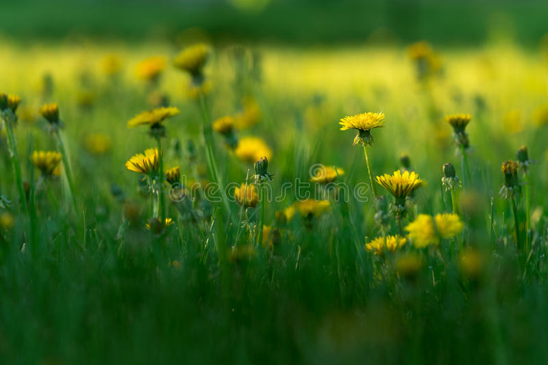 Yellow Dandelion Flowers Meadow Close Up. Going To the Blur On The Background For Wallpaper royalty free stock image