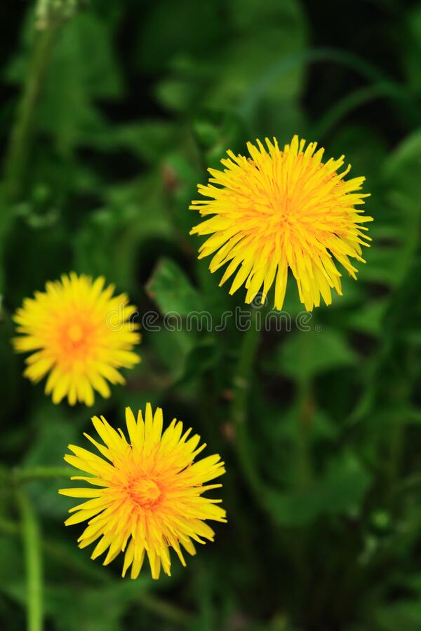 Yellow Dandelion Flowers royalty free stock photo