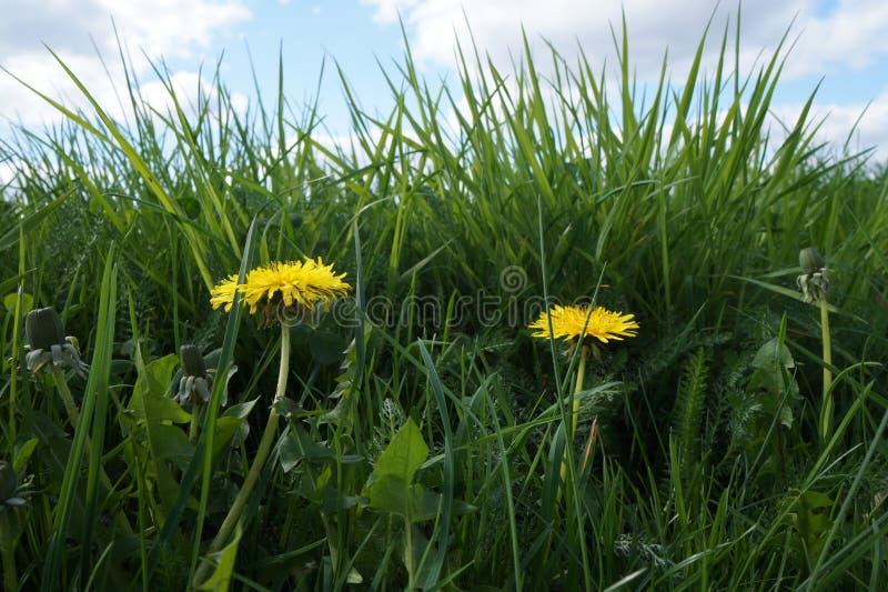 Yellow dandelion flowers Taraxacum officinale. royalty free stock photography