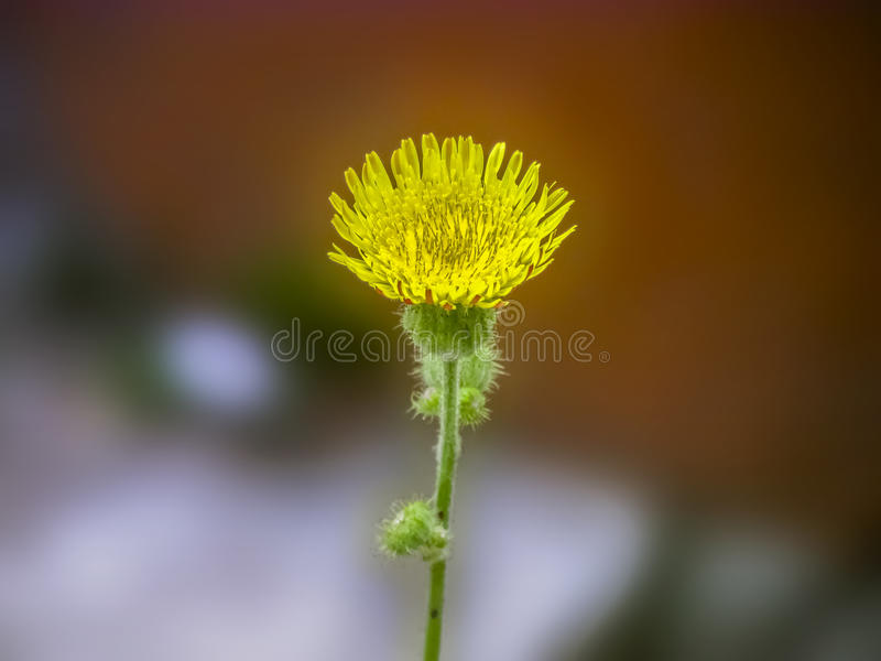 Yellow Dandelion fower. Yellow Dandelion flower with some blossoms,commonly found in Eurasia,in the summers.Name denotes lion's teeth.Pointed serrated leaves royalty free stock photo
