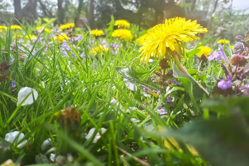 Yellow dandelion in the grass. Green meadow stock image