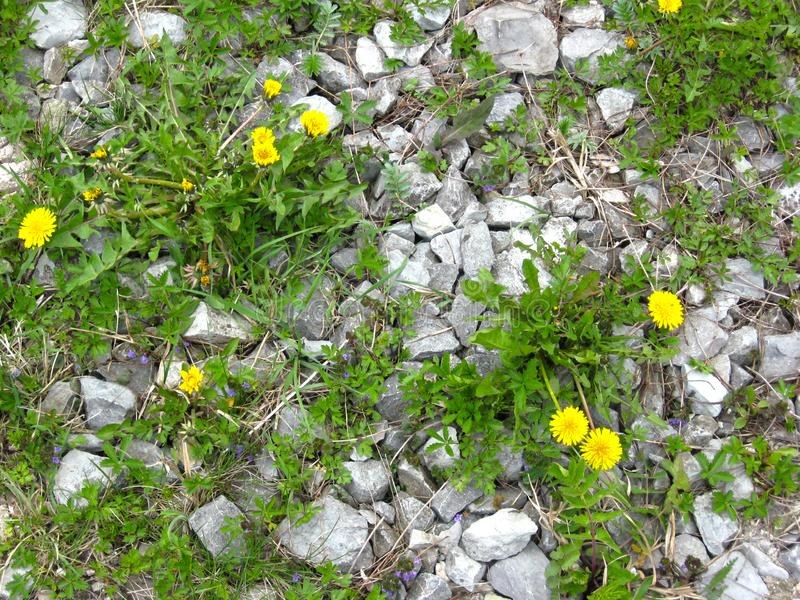 Yellow dandelion and green grass that break through the stones.  royalty free stock photo