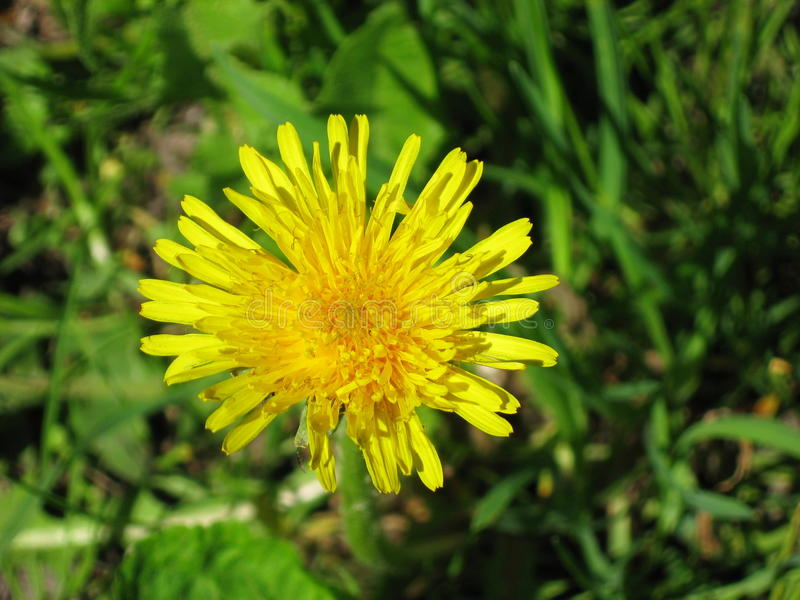 Yellow dandelion on a green grass royalty free stock image