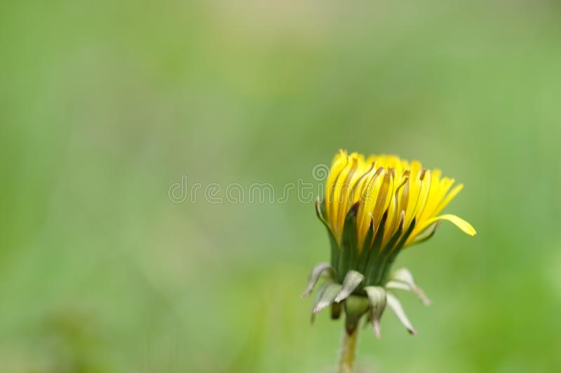 Yellow dandelion grow in the summer garden, closeup, side view.  royalty free stock photo