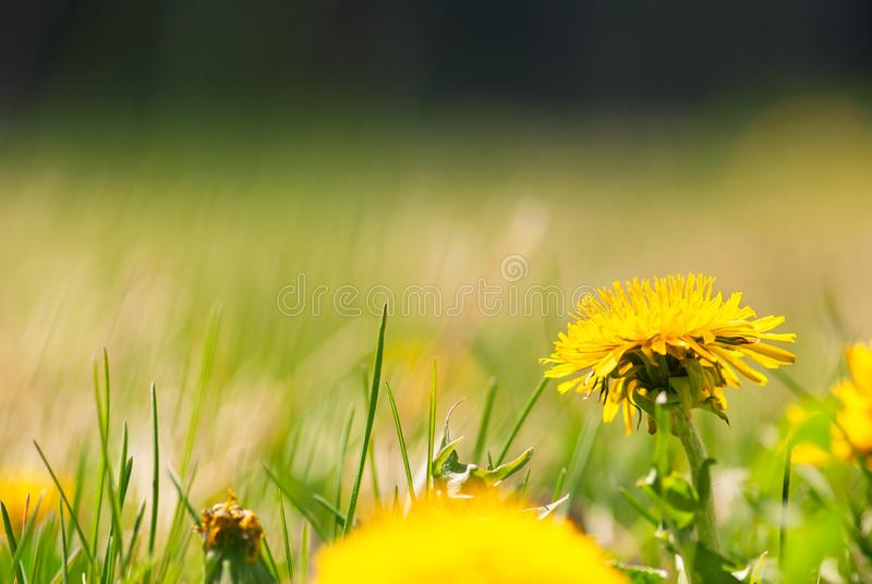 Yellow Dandelion In Lawn. A vibrant, yellow dandelion flower blooms in a lawn in springtime royalty free stock photo