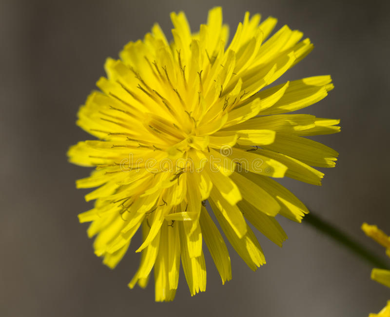 Yellow dandelion in the meadow stock image