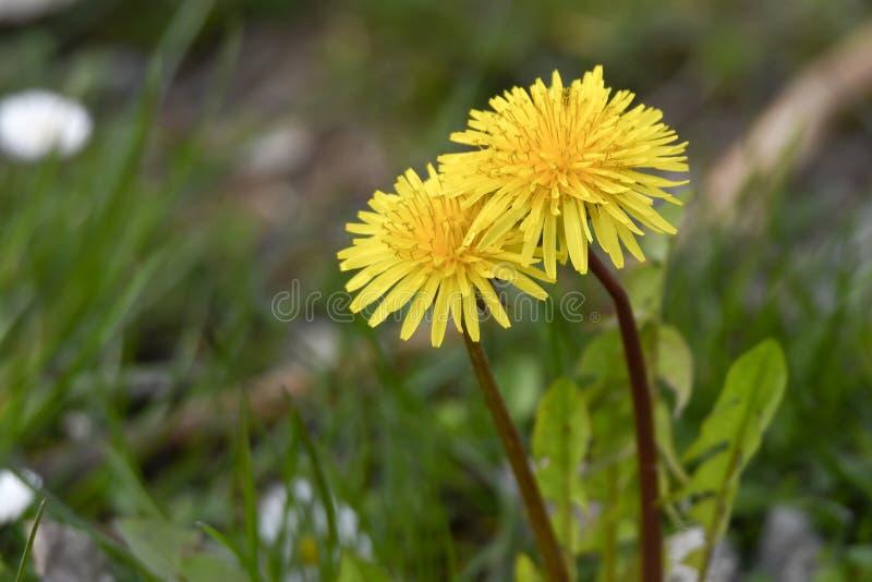 Dandelion in the meadow stock photos