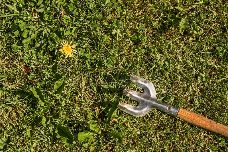 Yellow dandelion and rake on green lawn. On top stock photography