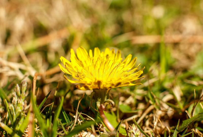Yellow dandelion in the spring. Macro shooting, selective focus. Yellow dandelion in spring. Macro shooting, selective focus stock images