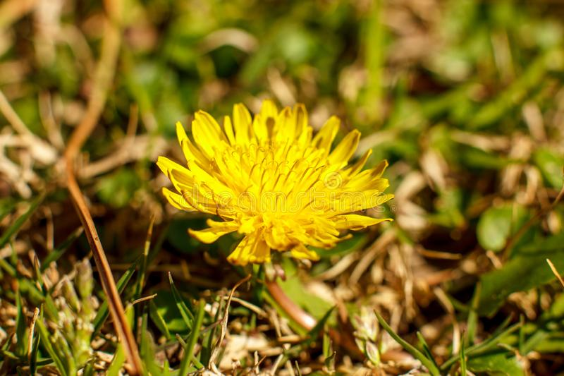 Yellow dandelion in the spring. Macro shooting, selective focus. Yellow dandelion in spring. Macro shooting, selective focus stock photo