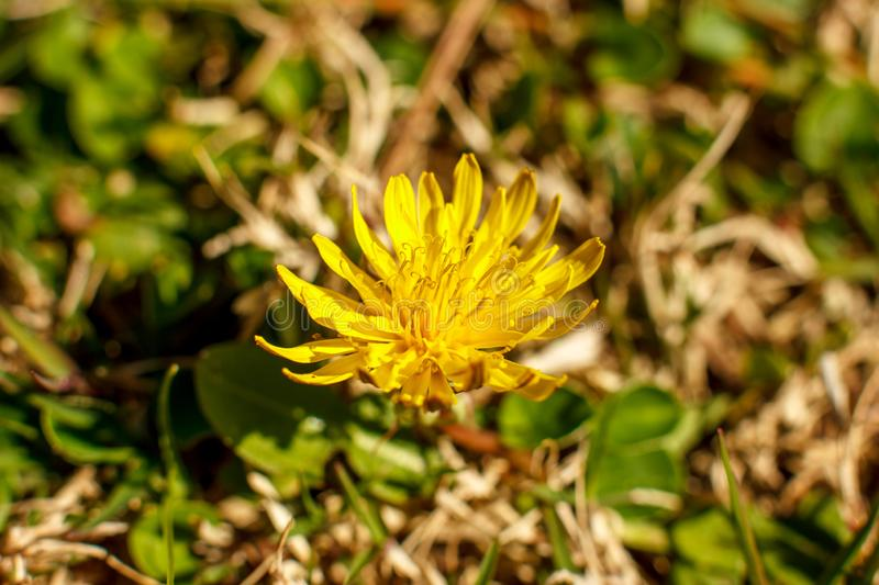 Yellow dandelion in the spring. Macro shooting, selective focus. Yellow dandelion in spring. Macro shooting, selective focus stock photos