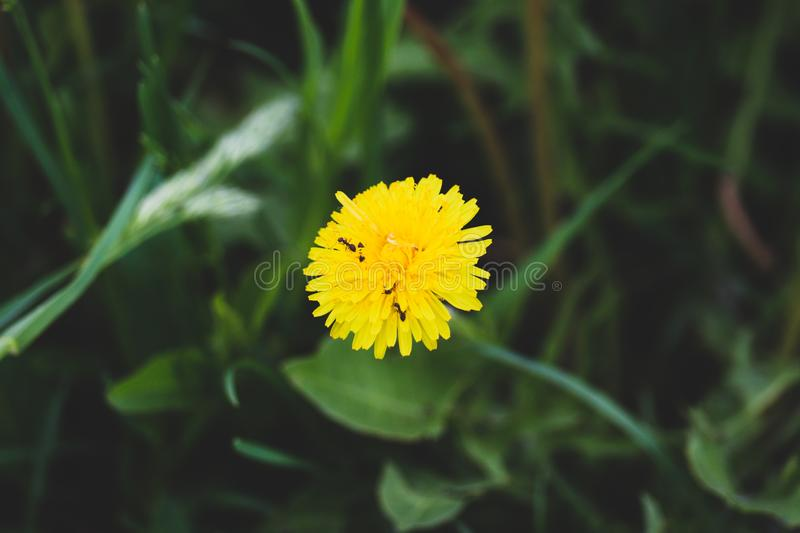 Yellow dandelion standing alone with insects on it. Near a pond in stock photos