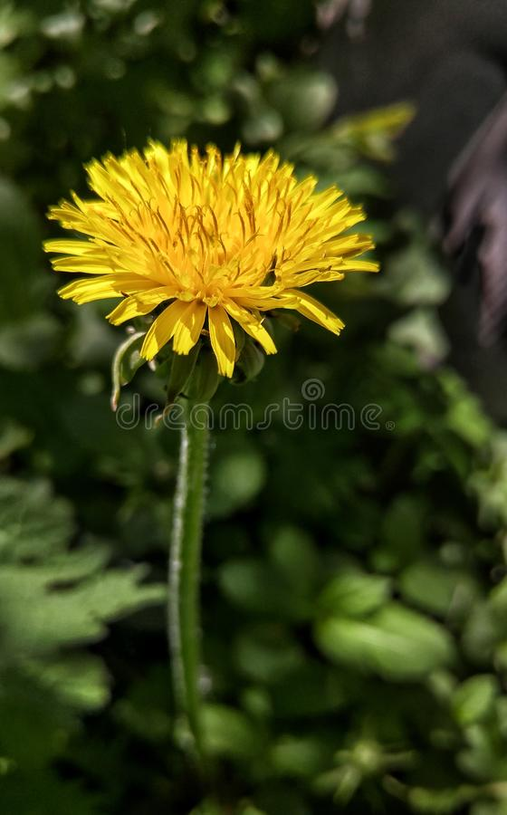 Yellow dandelion in the sunlight on a dark background 1. Yellow dandelion sunlight dark background flower green shade meadow vild bloom blossom petal plant stock photo