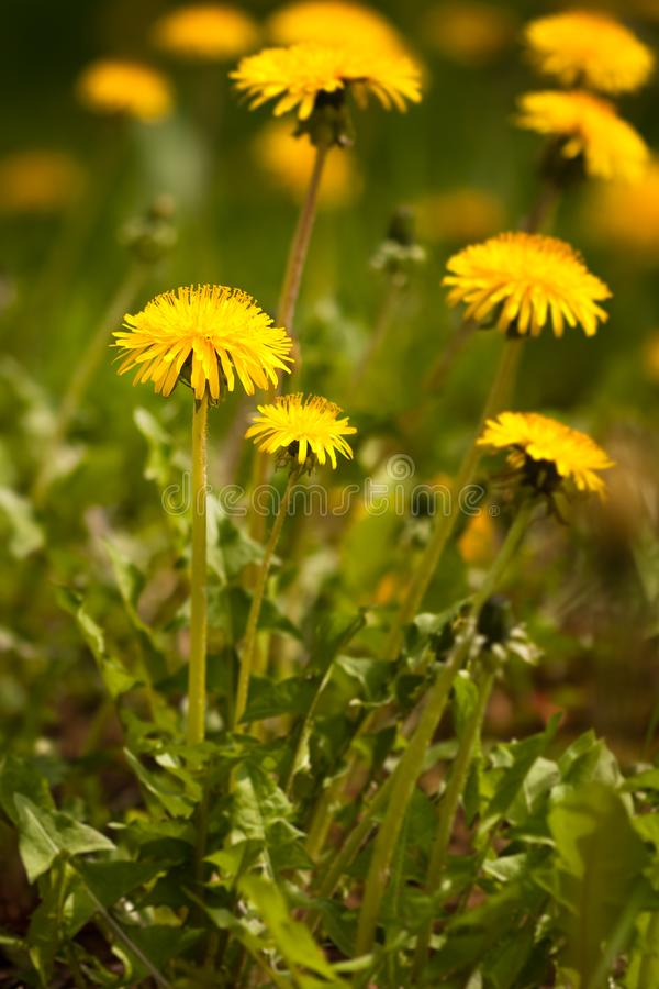 Yellow Dandelion Taraxacum Officinale Growing On Meadow. Yellow Dandelion Taraxacum Officinale Growing On Meadow In Spring Close Up royalty free stock photos
