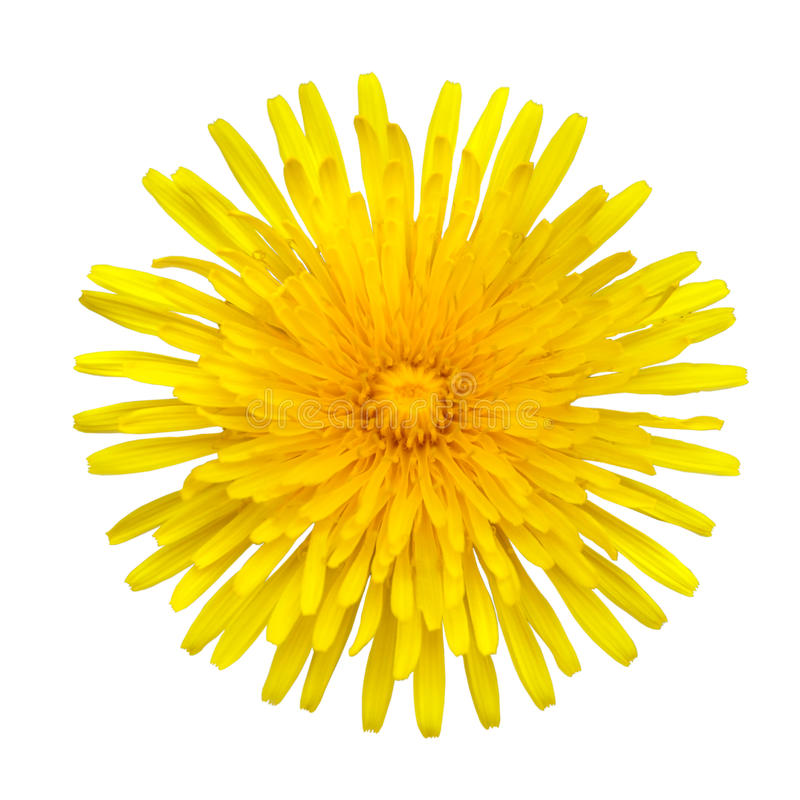 Free Yellow Dandelion - Taraxacum Officinale Isolated Royalty Free Stock Image - 15251556