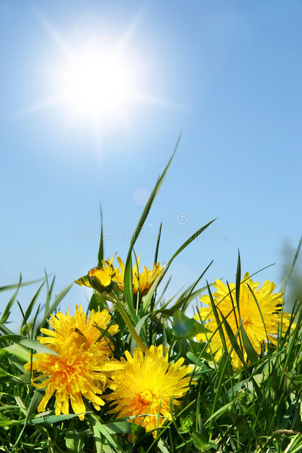 Yellow dandelions. Against a blue sky stock photo