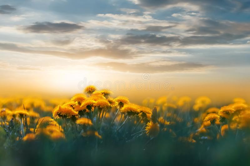 Yellow dandelions in the backlight of sunset in the wild field. Natural floral background. Concept summer spring royalty free stock photos