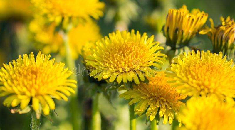 Yellow dandelions. Bright flowers dandelions on the field. stock image