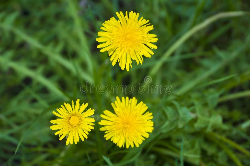Yellow dandelions in the grass stock photography