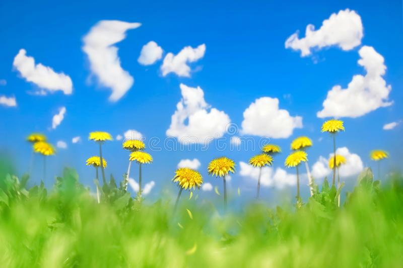 Yellow dandelions in a green grass against the background of the blue sky with clouds. Natural summer spring background. Artistic. Natural image. Soft focus stock image