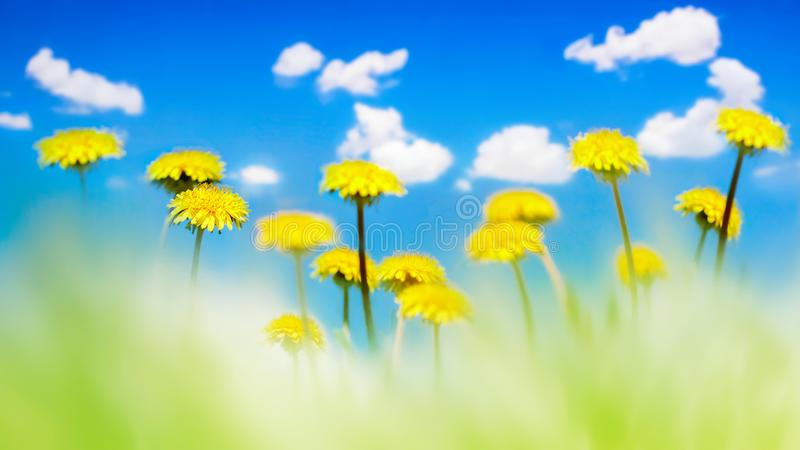 Yellow dandelions in a green grass against the background of the blue sky with clouds. Natural summer spring background. Artistic stock images