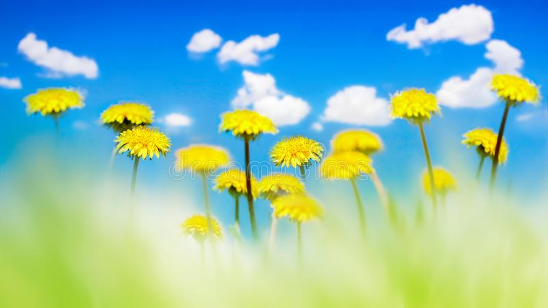 Yellow dandelions in a green grass against the background of the blue sky with clouds. Natural summer spring background. Artistic. Natural image. Soft focus stock photos