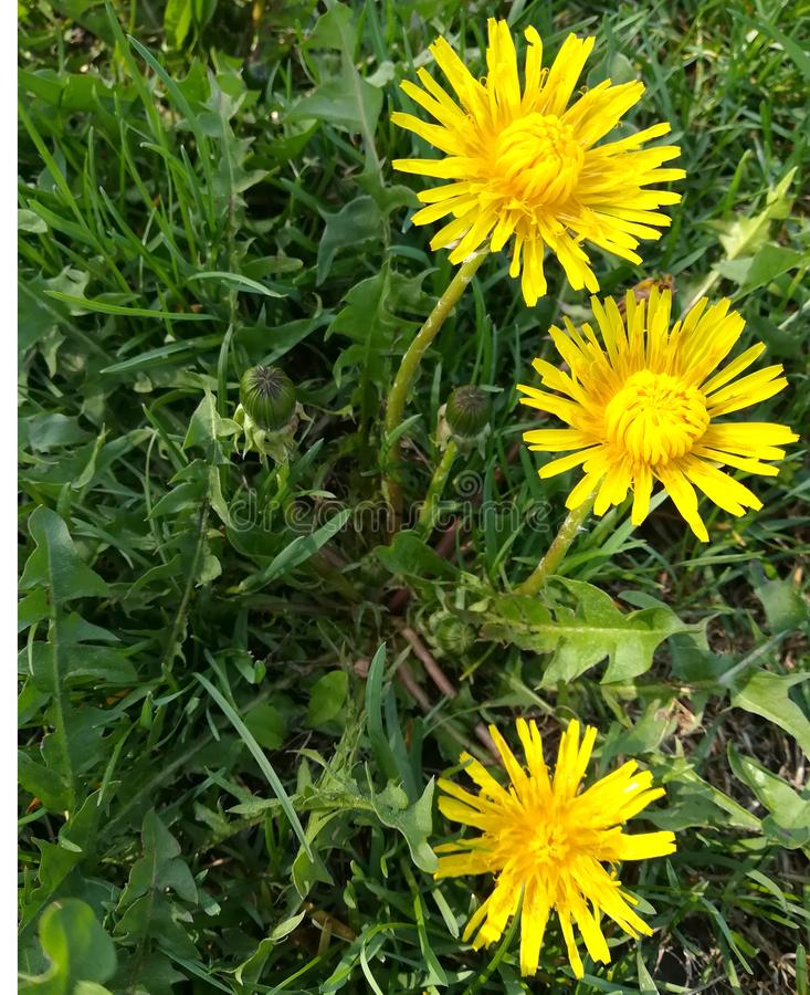 Yellow dandelions. spring lawn. green grass. bloom flowers summer royalty free stock photography